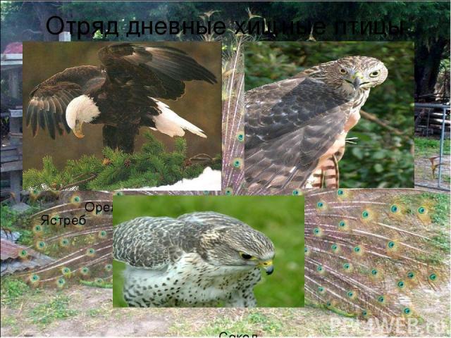 Отряд дневные хищные птицы Орел Ястреб Сокол