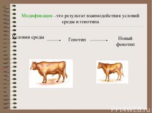 Модификация –это результат взаимодействия условий среды и генотипа Условия среды