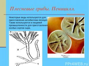 Плесневые грибы. Пеницилл. Некоторые виды используются для приготовления антибио