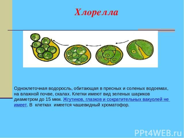 Хлорелла Одноклеточная водоросль, обитающая в пресных и соленых водоемах, на влажной почве, скалах. Клетки имеют вид зеленых шариков диаметром до 15 мкм. Жгутиков, глазков и сократительных вакуолей не имеет. В клетках имеется чашевидный хроматофор.