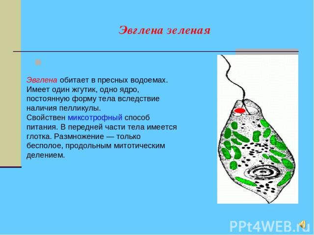 Эвглена зеленая Эвглена обитает в пресных водоемах. Имеет один жгутик, одно ядро, постоянную форму тела вследствие наличия пелликулы. Свойствен миксотрофный способ питания. В передней части тела имеется глотка. Размножение — только бесполое, продоль…