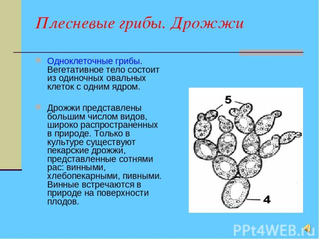 Плесневые грибы. Дрожжи Одноклеточные грибы. Вегетативное тело состоит из одиночных овальных клеток с одним ядром. Дрожжи представлены большим числом видов, широко распространенных в природе. Только в культуре существуют пекарские дрожжи, представле…