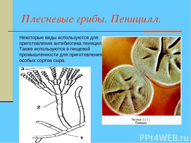 Плесневые грибы. Пеницилл. Некоторые виды используются для приготовления антибиотика пенициллина. Также используются в пищевой промышленности для приготовления особых сортов сыра.