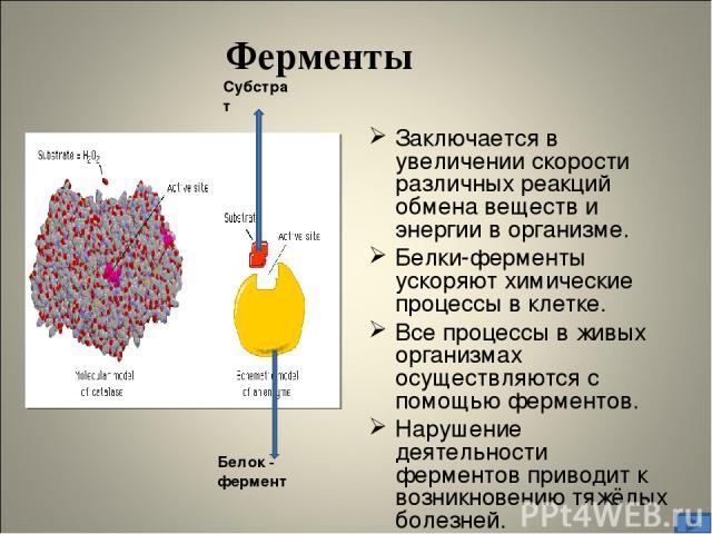Заключается в увеличении скорости различных реакций обмена веществ и энергии в организме. Белки-ферменты ускоряют химические процессы в клетке. Все процессы в живых организмах осуществляются с помощью ферментов. Нарушение деятельности ферментов прив…