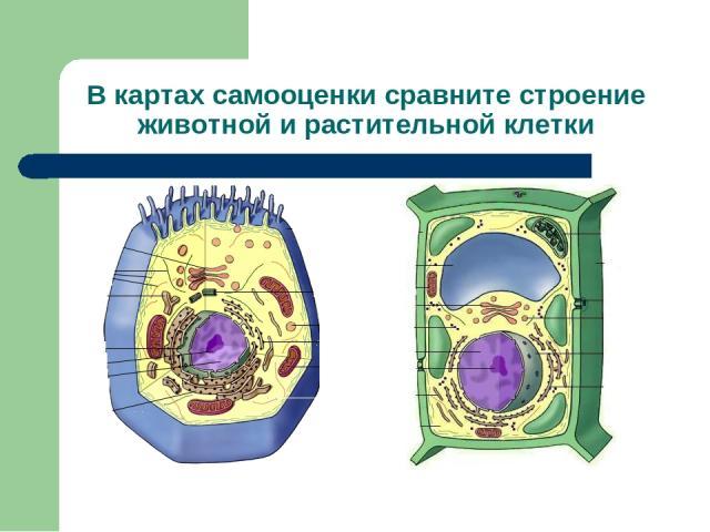 В картах самооценки сравните строение животной и растительной клетки