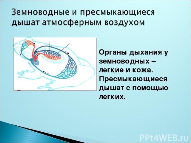 Органы дыхания у земноводных – легкие и кожа. Пресмыкающиеся дышат с помощью легких.