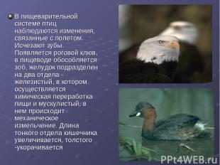 В пищеварительной системе птиц наблюдаются изменения, связанные с полетом. Исчез