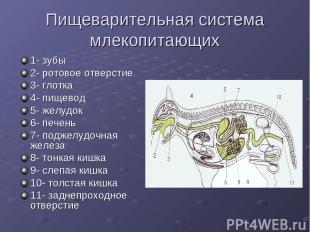 Пищеварительная система млекопитающих 1- зубы 2- ротовое отверстие 3- глотка 4-