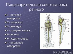 Пищеварительная система рака речного 1- ротовое отверстие 2- пищевод 3- желудок