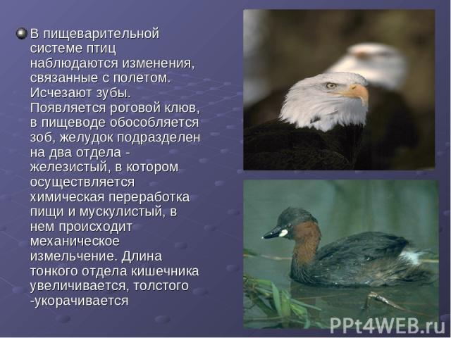 В пищеварительной системе птиц наблюдаются изменения, связанные с полетом. Исчезают зубы. Появляется роговой клюв, в пищеводе обособляется зоб, желудок подразделен на два отдела - железистый, в котором осуществляется химическая переработка пищи и му…