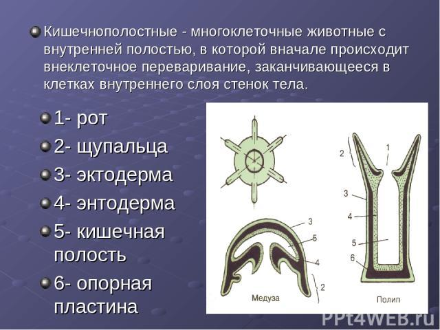 1- рот 2- щупальца 3- эктодерма 4- энтодерма 5- кишечная полость 6- опорная пластина Кишечнополостные - многоклеточные животные с внутренней полостью, в которой вначале происходит внеклеточное переваривание, заканчивающееся в клетках внутреннего сло…