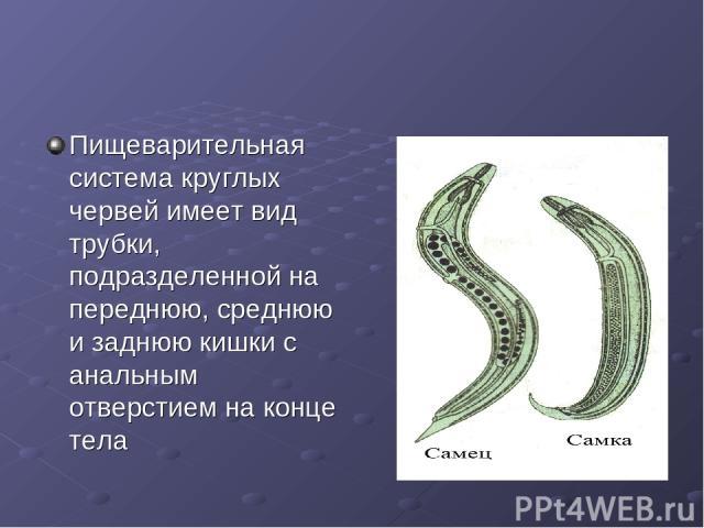 Пищеварительная система круглых червей имеет вид трубки, подразделенной на переднюю, среднюю и заднюю кишки с анальным отверстием на конце тела