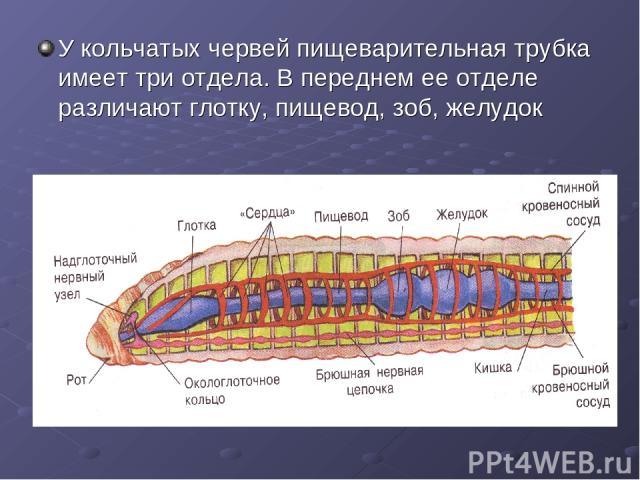 У кольчатых червей пищеварительная трубка имеет три отдела. В переднем ее отделе различают глотку, пищевод, зоб, желудок