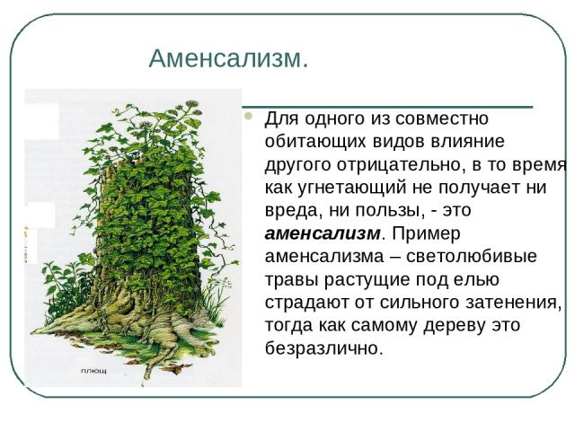 Аменсализм. Для одного из совместно обитающих видов влияние другого отрицательно, в то время как угнетающий не получает ни вреда, ни пользы, - это аменсализм. Пример аменсализма – светолюбивые травы растущие под елью страдают от сильного затенения, …