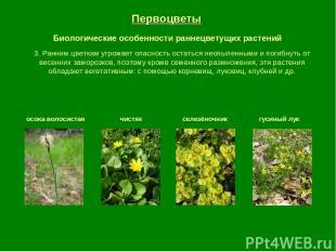 Первоцветы Биологические особенности раннецветущих растений осока волосистая чис