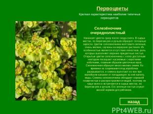 Первоцветы Селезёночник очереднолистный назад Краткая характеристика наиболее ти