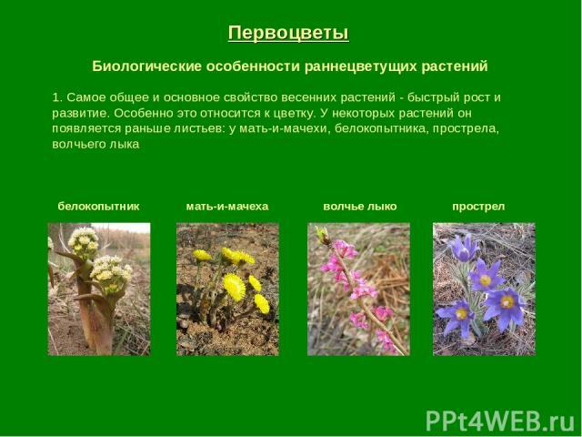 Первоцветы Биологические особенности раннецветущих растений 1. Самое общее и основное свойство весенних растений - быстрый рост и развитие. Особенно это относится к цветку. У некоторых растений он появляется раньше листьев: у мать-и-мачехи, белокопы…