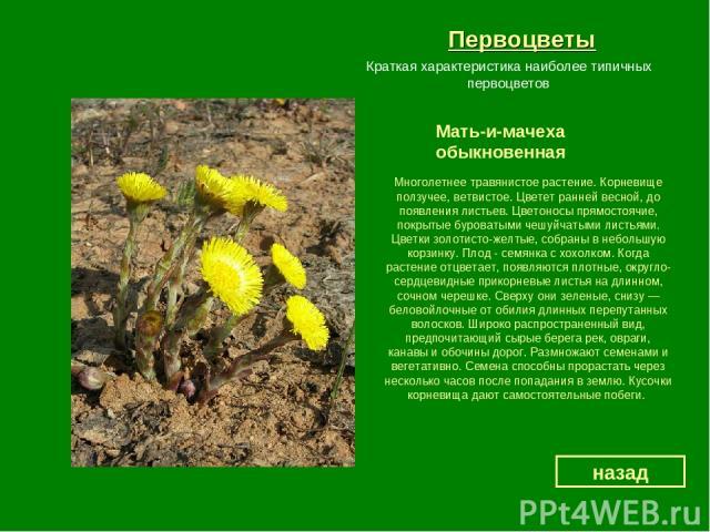 Первоцветы Мать-и-мачеха обыкновенная назад Краткая характеристика наиболее типичных первоцветов Многолетнее травянистое растение. Корневище ползучее, ветвистое. Цветет ранней весной, до появления листьев. Цветоносы прямостоячие, покрытые буроватыми…