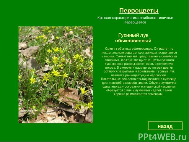 Первоцветы Гусиный лук обыкновенный назад Краткая характеристика наиболее типичных первоцветов Один из обычных эфемероидов. Он растет по лесам, лесным оврагам, кустарникам, встречается в парках. Самый мелкий представитель семейства лилейных. Желтые …