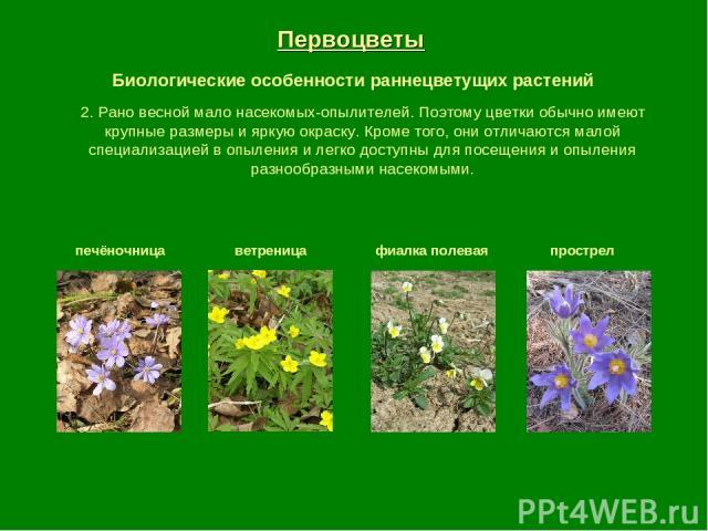 Первоцветы Биологические особенности раннецветущих растений печёночница ветреница фиалка полевая прострел 2. Рано весной мало насекомых-опылителей. Поэтому цветки обычно имеют крупные размеры и яркую окраску. Кроме того, они отличаются малой специал…
