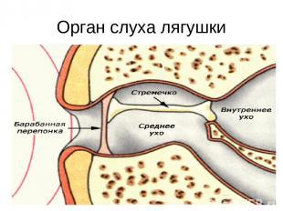 Орган слуха лягушки