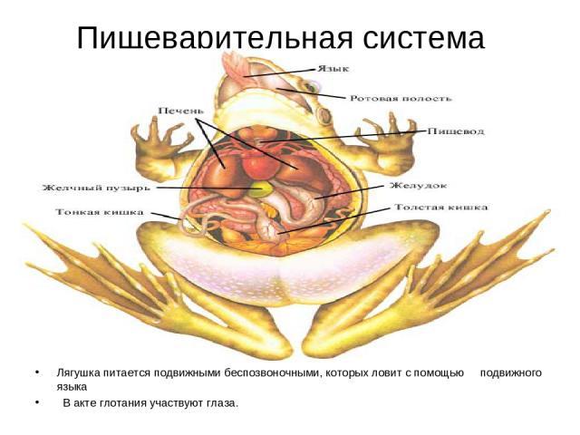 Пищеварительная система Лягушка питается подвижными беспозвоночными, которых ловит с помощью подвижного языка В акте глотания участвуют глаза.