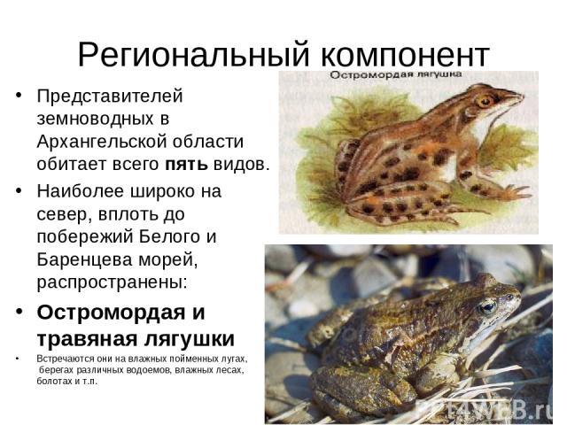 Региональный компонент Представителей земноводных в Архангельской области обитает всего пять видов. Наиболее широко на север, вплоть до побережий Белого и Баренцева морей, распространены: Остромордая и травяная лягушки Встречаются они на влажных пой…
