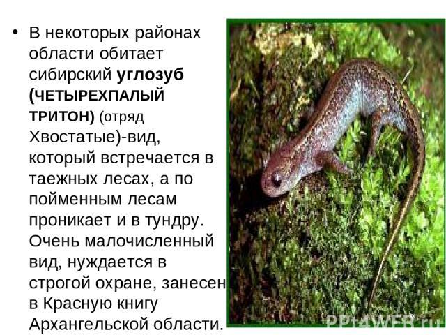В некоторых районах области обитает сибирский углозуб (ЧЕТЫРЕХПАЛЫЙ ТРИТОН) (отряд Хвостатые)-вид, который встречается в таежных лесах, а по пойменным лесам проникает и в тундру. Очень малочисленный вид, нуждается в строгой охране, занесен в Красную…