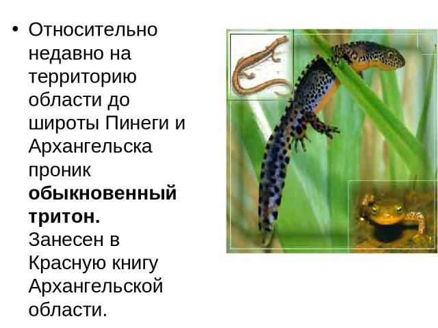 Относительно недавно на территорию области до широты Пинеги и Архангельска проник обыкновенный тритон. Занесен в Красную книгу Архангельской области.