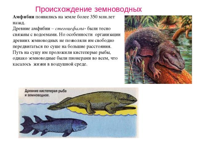 Амфибии появились на земле более 350 млн.лет назад. Древние амфибии – стегоцефалы- были тесно связаны с водоемами. Но особенности организации древних земноводных не позволяли им свободно передвигаться по суше на большие расстояния. Путь на сушу им п…
