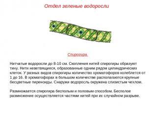 Спирогира. Нитчатые водоросли до 8-10 см. Скопления нитей спирогиры образуют тин
