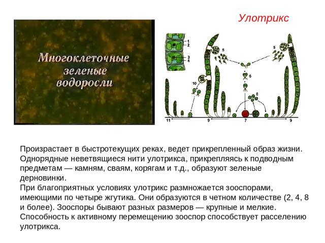 Произрастает в быстротекущих реках, ведет прикрепленный образ жизни. Однорядные неветвящиеся нити улотрикса, прикрепляясь к подводным предметам — камням, сваям, корягам и т.д., образуют зеленые дерновинки. При благоприятных условиях улотрикс размнож…