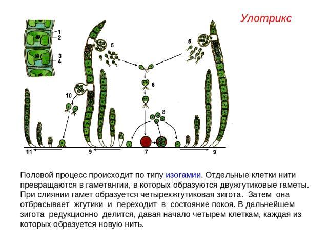 Половой процесс происходит по типу изогамии. Отдельные клетки нити превращаются в гаметангии, в которых образуются двужгутиковые гаметы. При слиянии гамет образуется четырехжгутиковая зигота. Затем она отбрасывает жгутики и переходит в состояние пок…