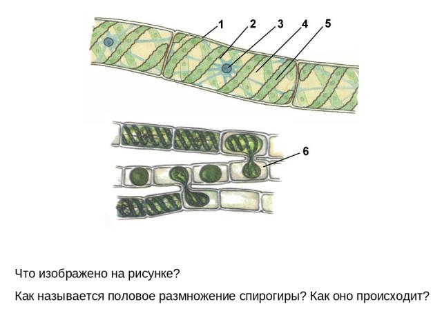 Что изображено на рисунке? Как называется половое размножение спирогиры? Как оно происходит?