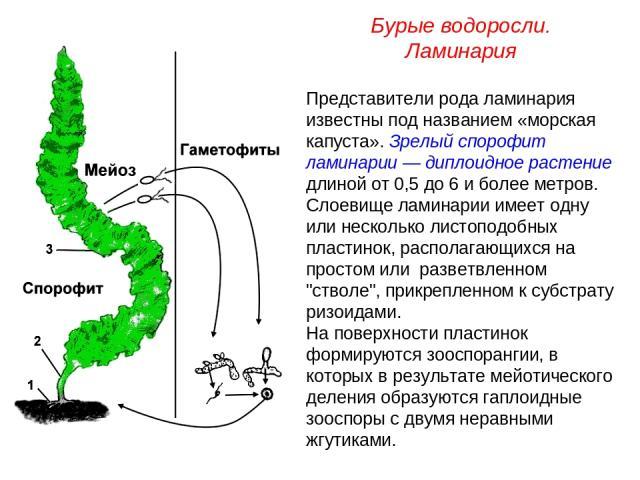 Представители рода ламинария известны под названием «морская капуста». Зрелый спорофит ламинарии — диплоидное растение длиной от 0,5 до 6 и более метров. Слоевище ламинарии имеет одну или несколько листоподобных пластинок, располагающихся на простом…