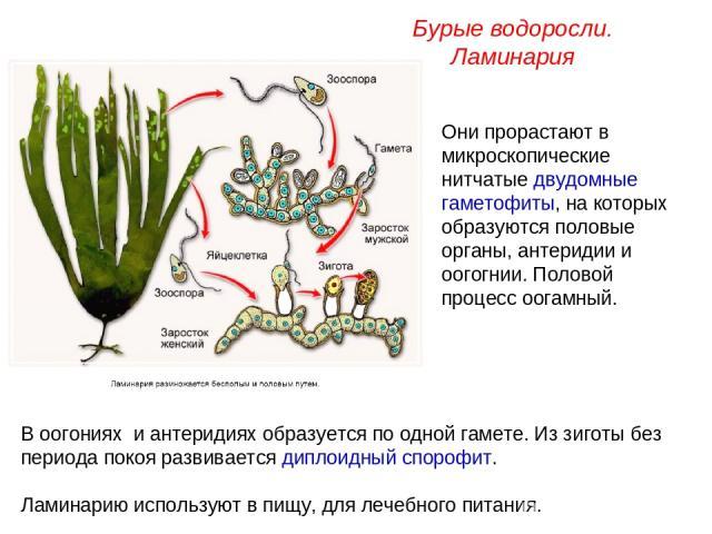 Они прорастают в микроскопические нитчатые двудомные гаметофиты, на которых образуются половые органы, антеридии и оогогнии. Половой процесс оогамный. Бурые водоросли. Ламинария В оогониях и антеридиях образуется по одной гамете. Из зиготы без перио…