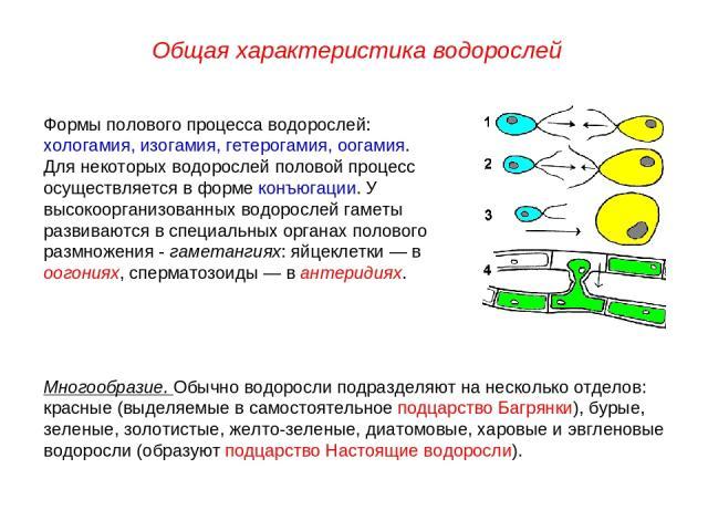 Формы полового процесса водорослей: хологамия, изогамия, гетерогамия, оогамия. Для некоторых водорослей половой процесс осуществляется в форме конъюгации. У высокоорганизованных водорослей гаметы развиваются в специальных органах полового размножени…