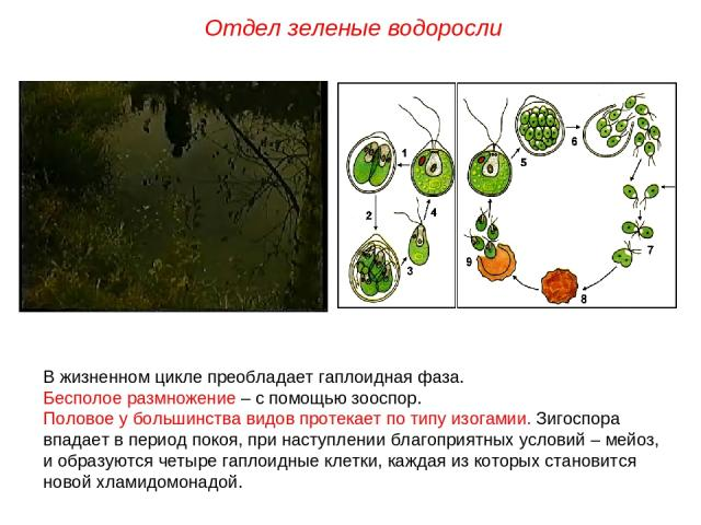 В жизненном цикле преобладает гаплоидная фаза. Бесполое размножение – с помощью зооспор. Половое у большинства видов протекает по типу изогамии. Зигоспора впадает в период покоя, при наступлении благоприятных условий – мейоз, и образуются четыре гап…