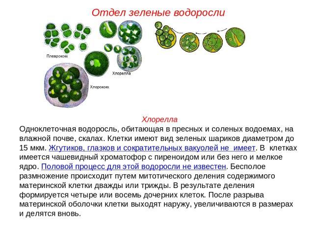 Хлорелла Одноклеточная водоросль, обитающая в пресных и соленых водоемах, на влажной почве, скалах. Клетки имеют вид зеленых шариков диаметром до 15 мкм. Жгутиков, глазков и сократительных вакуолей не имеет. В клетках имеется чашевидный хроматофор с…