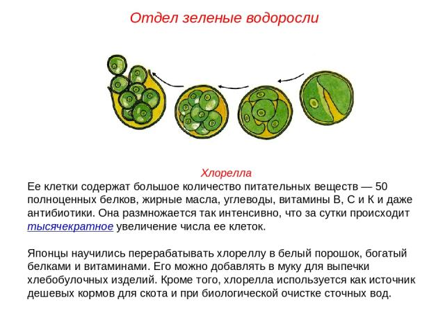 Хлорелла Ее клетки содержат большое количество питательных веществ — 50 полноценных белков, жирные масла, углеводы, витамины В, С и К и даже антибиотики. Она размножается так интенсивно, что за сутки происходит тысячекратное увеличение числа ее клет…