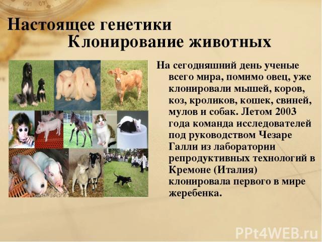Настоящее генетики Клонирование животных На сегодняшний день ученые всего мира, помимо овец, уже клонировали мышей, коров, коз, кроликов, кошек, свиней, мулов и собак. Летом 2003 года команда исследователей под руководством Чезаре Галли из лаборатор…