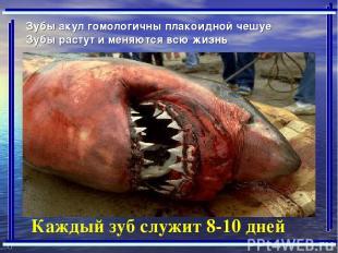 Зубы акул гомологичны плакоидной чешуе Зубы растут и меняются всю жизнь Каждый з