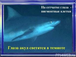 На сетчатке глаза - пигментные клетки Глаза акул светятся в темноте