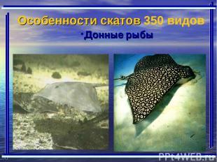 Донные рыбы Особенности скатов 350 видов