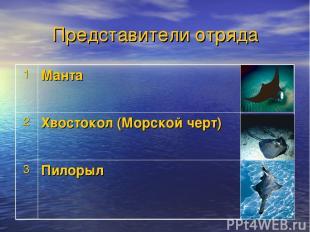 Представители отряда 1 Манта 2 Хвостокол (Морской черт) 3 Пилорыл