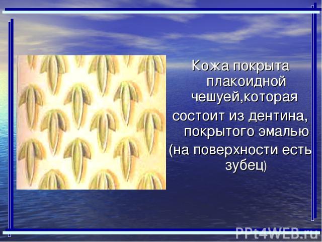 Кожа покрыта плакоидной чешуей,которая состоит из дентина, покрытого эмалью (на поверхности есть зубец)