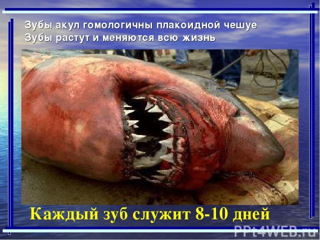 Зубы акул гомологичны плакоидной чешуе Зубы растут и меняются всю жизнь Каждый зуб служит 8-10 дней