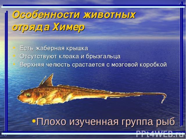 Особенности животных отряда Химер Есть жаберная крышка Отсутствуют клоака и брызгальца Верхняя челюсть срастается с мозговой коробкой Плохо изученная группа рыб