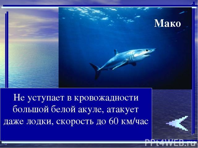 Не уступает в кровожадности большой белой акуле, атакует даже лодки, скорость до 60 км/час