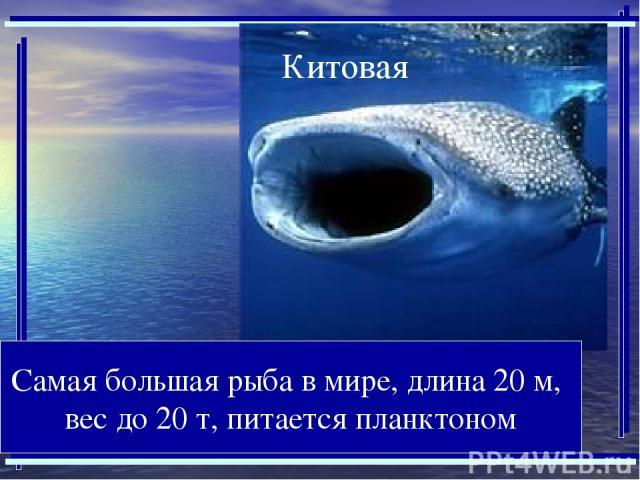 Самая большая рыба в мире, длина 20 м, вес до 20 т, питается планктоном